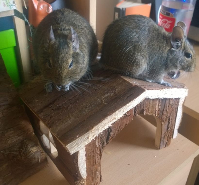 Degus eating their house
